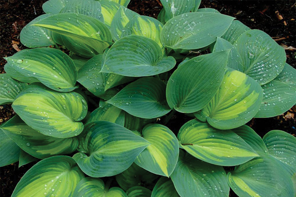 hosta-plantaginea
