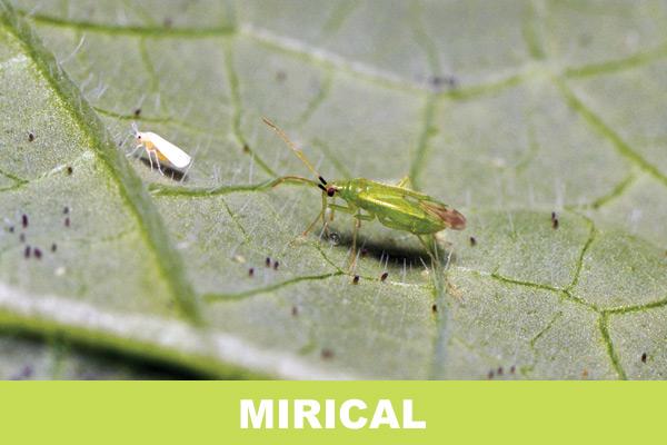 mirical