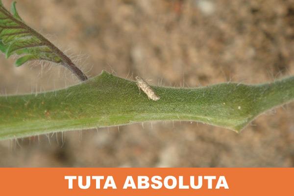 paradajizov-moljac
