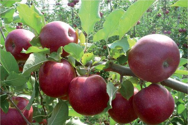 sadnice-jabuka