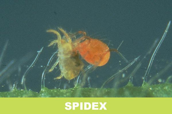 spidex