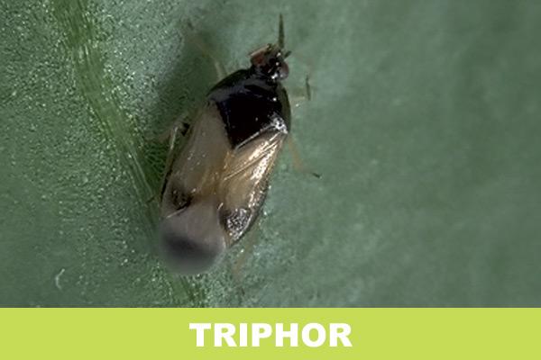 triphor
