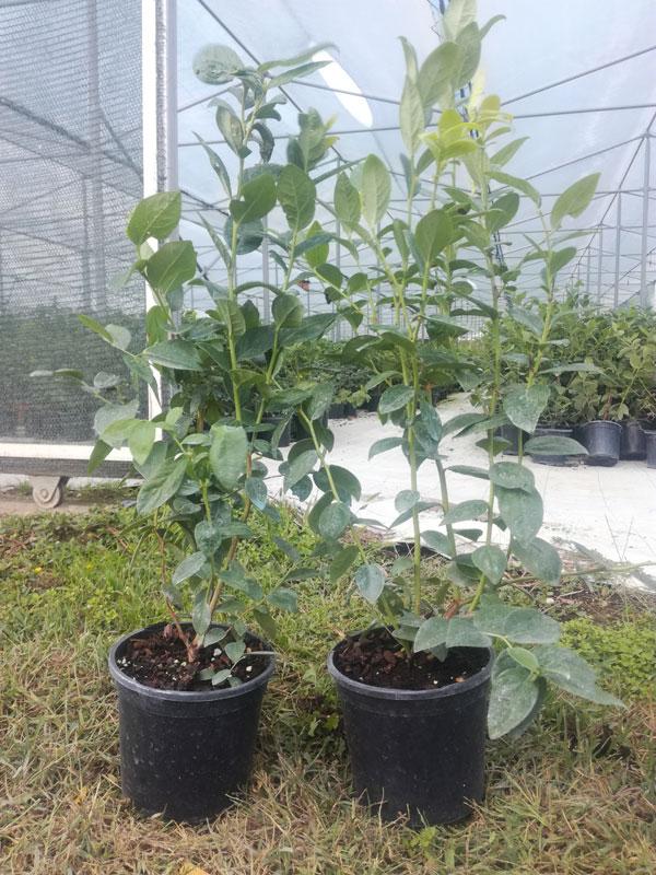 Sadni-materijal-borovnice