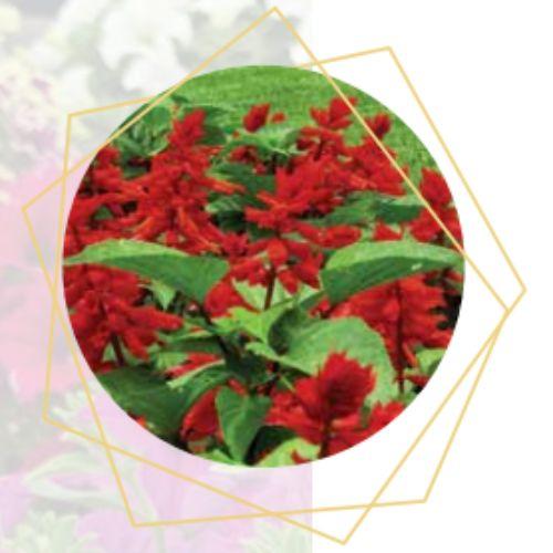 Salvia splendans
