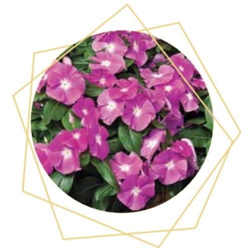 Catharanthus roseus (Vinca)