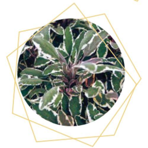 Salvia officinialis
