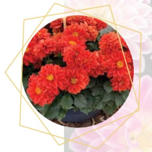 Dahlia x hybrida