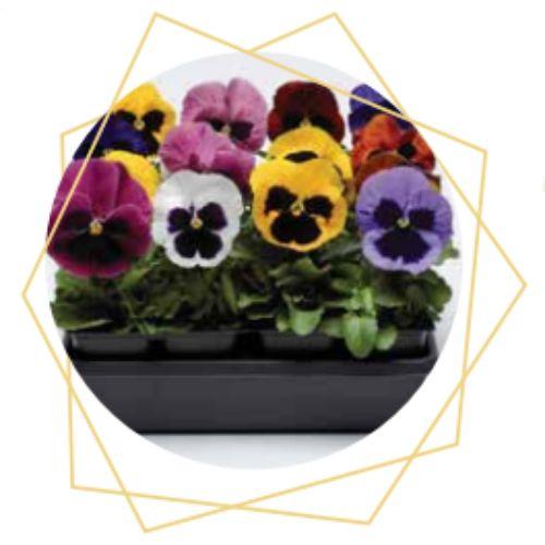Viola x witrockiana