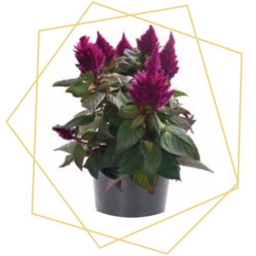 Celosia spicata