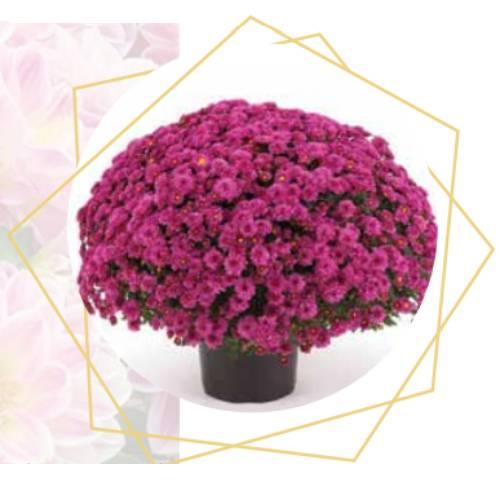 Chysanthemum multiflora